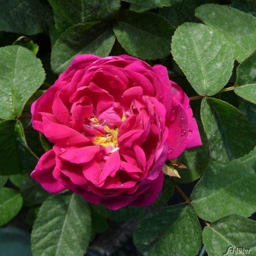 Historische Strauchrose 'Rose de Resht®'