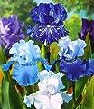 BALDUR-Garten Iris-Mix 'Sea Breeze', 4 Knollen Iris germanica von Baldur-Garten auf Du und dein Garten