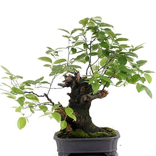 Bonsai – Prunus padus, Gemeine-Traubenkirsche, Yamadori 177/116
