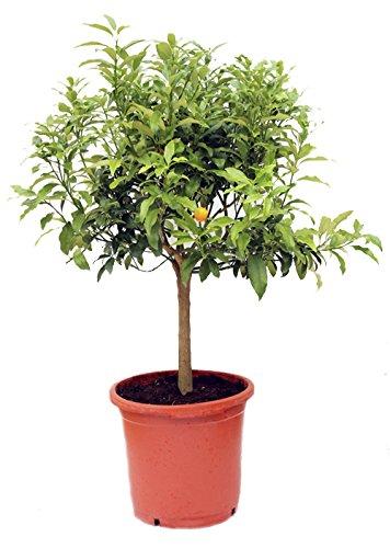 naranjo-enano-kumquat-arbol-citrico-natural-altura-80-centimetros-aproximado-contenedor-30-cm-envios