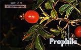 Prophila Collection Zypern 2120 3 Pfund Hagebutte (Telefonkarten für Sammler) Pflanzen
