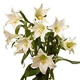 Blumenversand - Blumenstrauß - zum Geburtstag - 10 Stück weiße Lilien Longiflorum Cali - mit Gratis Grußkarte - bundesweit versenden