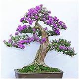 50 PC Lila weiße Flieder Samen Lilac Clove Samen Bonsai Blumensamen Baumsamen Topfpflanze für Hausgarten 1