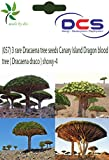 DCS(057) 3 Rare Dracaena tree seeds Cana...