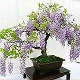 Wekold Multifunktions entzückende Blumen wohlriechende Blüte Glyzinie Baum Samen