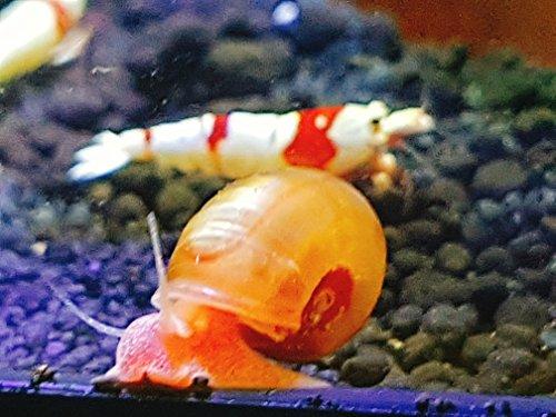 sunkist-befruchtete-zuchtschnecke-posthornschnecke-wird-bald-gelege-produzieren-1cm-auf-farbe-handve