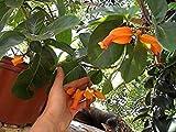 PlenTree Äußerst naturalas Seedsjuanulloa Mexikana 4 Samen Frische Pflanze Gold Finger