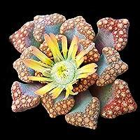Titanopsis hugo-schlechteri - Lithops - Lebende Steine - 20 Samen