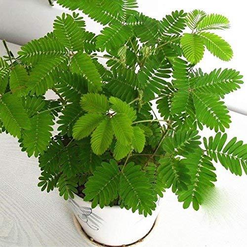 Anitra Perkins - 50pcs Mimose Samen Empfindliche Zimmerpflanzensamen Sinnpflanze Rühr-Mich-Nicht-An, Laub Mimose Sensitive Bonsai Pflanze Hausgarten (Grün)