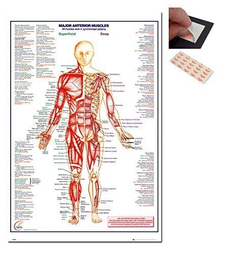 Garnitur - 2 Artikel - Mensch Körper Major Anterior Muskeln Plakat - 91,5 x 61cms (91.4x61cm) und ein Set mit 4 Repositionierbar Klebepads Für Einfache Wandbefestigung