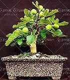 2bag Olea Europaea Mini oliva Bonsai Exóticos