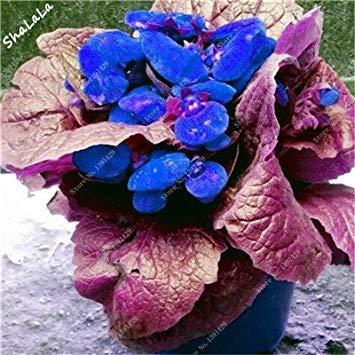 Virtue 100 Pz Bella Divertente Semi di Fiori Calceolaria Herbeohybrida Semi Indoor Bonsai Pianta Balcone Cortile Terrazza Pianta In Vaso 21