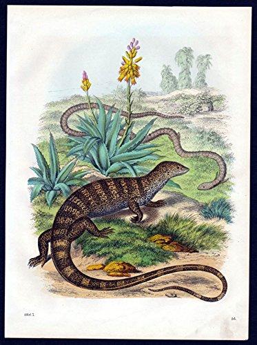 Grafik Warane Waran monitor lizard Echse Lithographie - Monitor Lizard