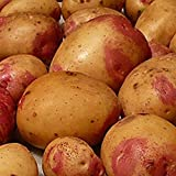 Sycamore Trading Seed Potatoes King Edward x 10 Tubers