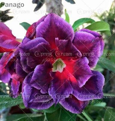 Pinkdose 2pcs Fiore rosa del deserto vero Adenium obesum bonsai fiore pianta piante grasse perenni piante in vaso al coperto per il giardino di casa: 23