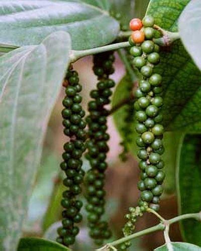 schwarzer Pfeffer, 10 Samen ()