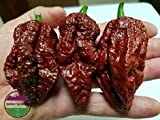 PLAT FIRM GERMINATIONSAMEN: 100 samen: USA Chocolate Bhutlah Super Hot Pepper 25-200 samen