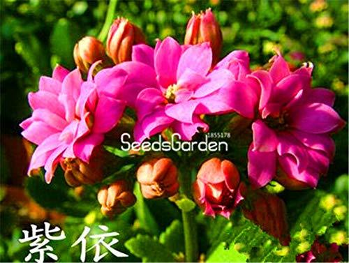 Fash lady prezzo più basso 100 pz/borsa kalanchoe piante in vaso alberelli piantine in vaso fiore bonsai: 4