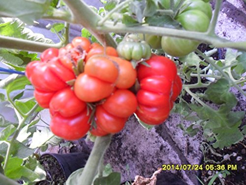 Famous Hungarian Traveler's Tomato, Heirloom, NON GMO, 20 graines