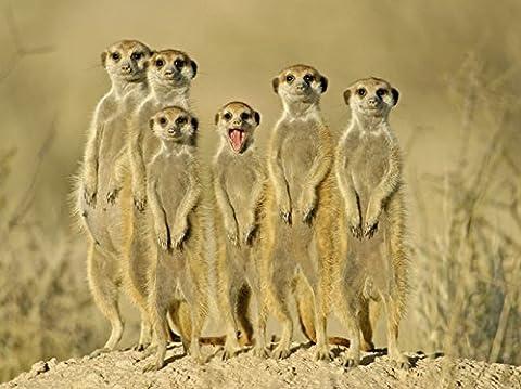 Artland Poster oder Leinwand-Bild fertig aufgespannt auf Keilrahmen mit Motiv EcoShot Erdmännchen Familie Tiere Wildtiere Fotografie Ocker