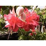 5 GIANT FLOWERED TRAILING FUCHSIA PLUG PLANTS (Peachy)
