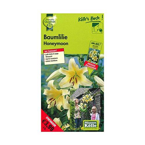 Baumlilien Honeymoon - Blüten in zartem Gelb - Knollengröße 16/18 - 2 Knollen in der Packung - Kölle's Beste