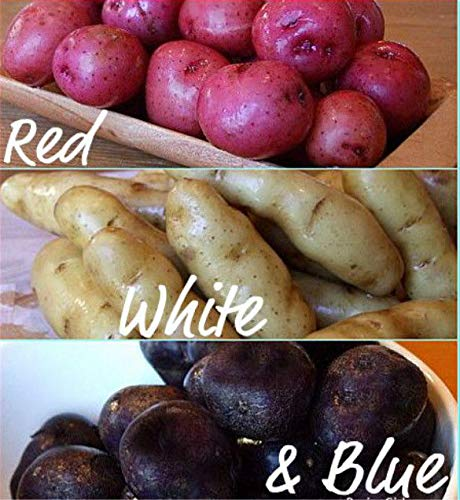 PLAT FIRM GERMINATIONSAMEN: ROT/WEISS/BLAU GEMISCH 1,5 lb. Saatkartoffeln - Live-Bio-Gemüse Tubers