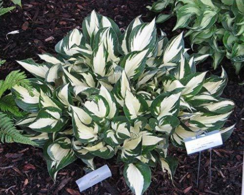 plat firm germinazione dei semi: loyalist hosta - sport di patriot - ombra bordo di taglio - quart pot - 1 impianto