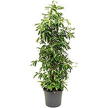 Suchergebnis auf Amazon.de für: zimmerpflanzen wenig licht