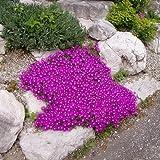 Mittagsblume - Delosperma cooperi - Steingartenstaude