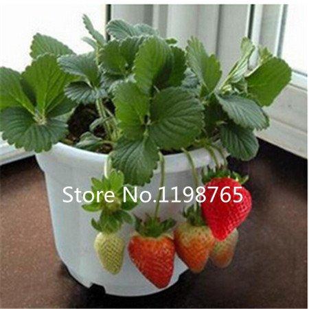 100 pcs / sac Délicieux multi-couleurs graines fraises Noir Bleu Blanc Fraise Fruit Graines Plantes jardin Vrai Bonsai Fruit