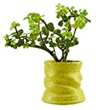 #10: Giftffairs Good Luck Air Purifying Live Jade Plant in Yellow Colour Spiral Design Pot