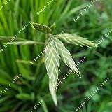 Go Garden ZLKING Planta venta caliente Comprar Avena Sativa Semilla 100pcs grano de avena trigo para el sustento Yan Mai