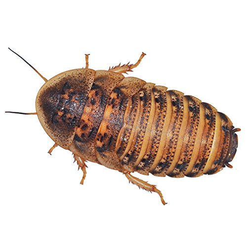 feeder-cockroaches-large-approx-10