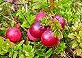 Vaccinium macrocarpon - Cranberry-Beere - Moosbeere - 20 Samen von Exotic Plants bei Du und dein Garten