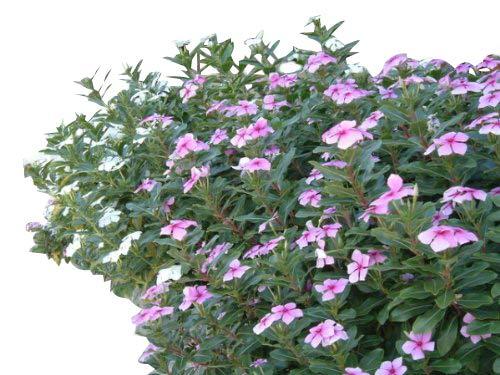 Madagaskar,Immergrün -Catharanthus roseus- 100+ Samen