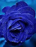 Keland 40 Edelrose Rosensamen Blütemeer für Ihr Garten, Lange Blütezeit, winterharte Blumensamen mehrjährig (Blau)