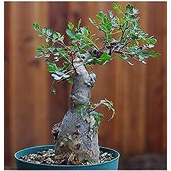Pachycormus discolor - Elefantenbaum - Copalquin - 3 Samen