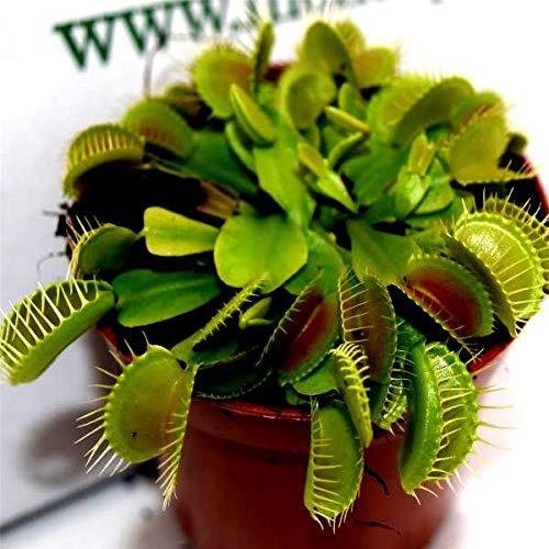 Photo Gallery pianta carnivora dionea vaso 8.5cm