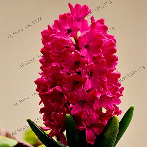 Nouvelle grande vente 105pcs / sac jacinthe comme, vivace jacinthe Flores mis en pot, fleur Bonsai en Maison et jardin rose 1 (GRAINES SEULEMENT)