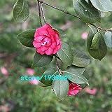 Bloom Green Co. Rose Red Kamelie Samen Topfpflanzen Dachterrasse Garten Blumensamen Topf Bonsai-Baum Gemeinsame Camellia Samen 100PCS: 4