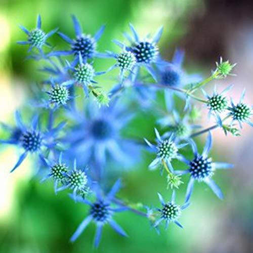 inkeme giardino - semi di cardo nobili blueryngium planum semi di fiori semi perenni fiori estivi perenni resistenti per aiuole/prati