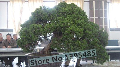 30pcs árboles de ciprés Platycladus orientalis semillas arborvitae oriental de coníferas semillas...