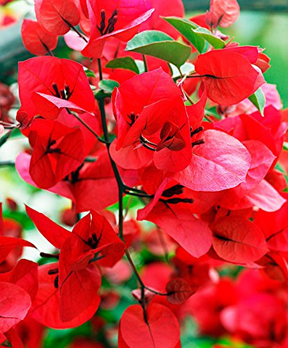 M-Tech Gardens Rose Gardens Rare Dwarf Red Bougainvillea Spectabilis live plant with Bushy Double flower