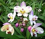 1 blühfähige Orchidee der Sorte: Spathoglottis, 13cm Topf