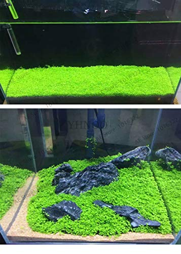 Pinkdose Original 500 Stück Aquarium Glossostigma Hemianthus Callitrichoides Bonsai Wasser Gras Mini Leaf lebende Pflanze Aquarium Dekoration U: Mix -