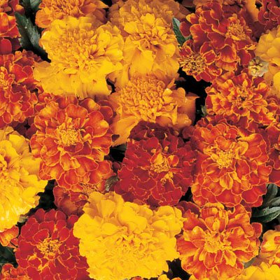 Flower Seeds - Marigold (French Dwarf Double
