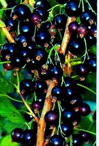 Portal Cool Schwarze Johannisbeere Ben Lomond Organically Pflanze Cut nachgewachsen - Transplantations Jetzt