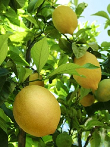 abbaye-essentials-huile-essentielle-citron