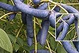 Decaisnea fargesii - Blaugurkenbaum (Blauschote)